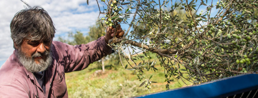 Oliven Ernte für Aiolos Olivenöl