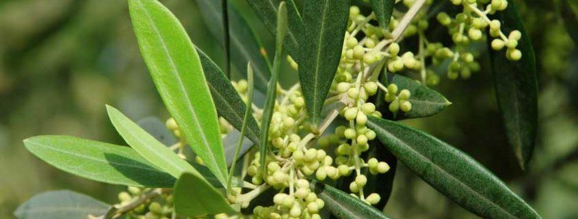 Olivenblüte Grundlage für Olivenöl