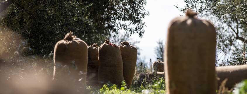 Verpackte Oliven auf dem Weg vom Olivenhain in die Presse