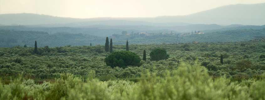 Region Elis - fruchtbare Olivenbäume
