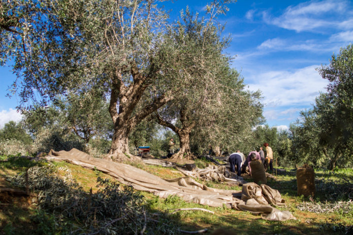 Olivenerntezeit am Peloponnes