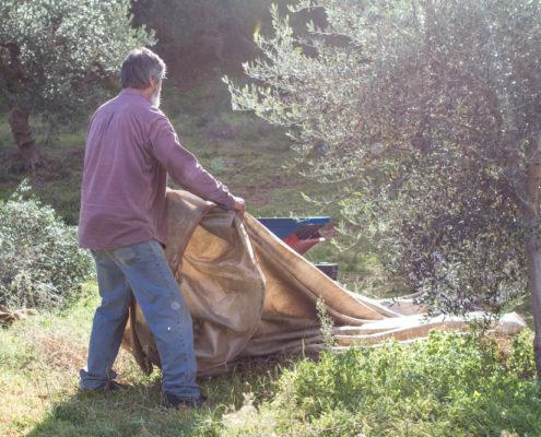 Erfahrung und Sorgfalt bei der Olivenernte