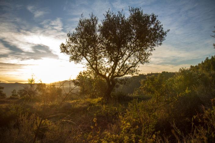 Olivenbaum im Morgenlicht