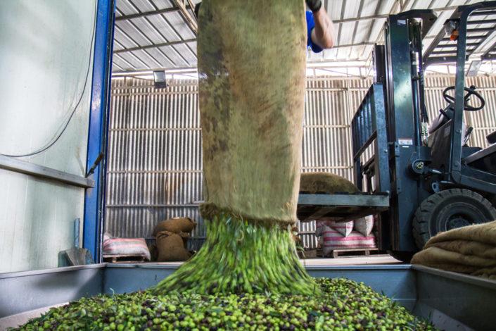 So rasch als möglich kommen die Oliven in die Presse