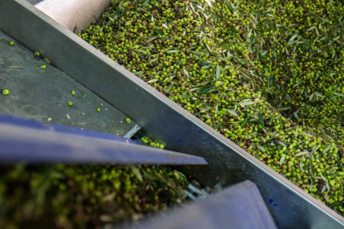 Über Förderbänder werden die Oliven zur Zentrifuge gebracht.