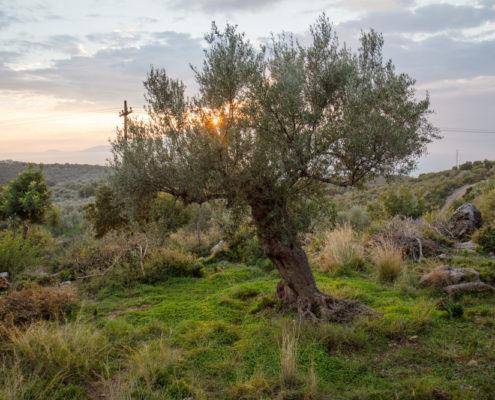 Der schönste Baum im ganzen Olivenland