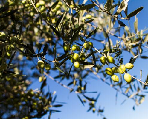 Frühreife Oliven am Baum