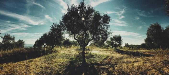 Die Magie des Olivenhains