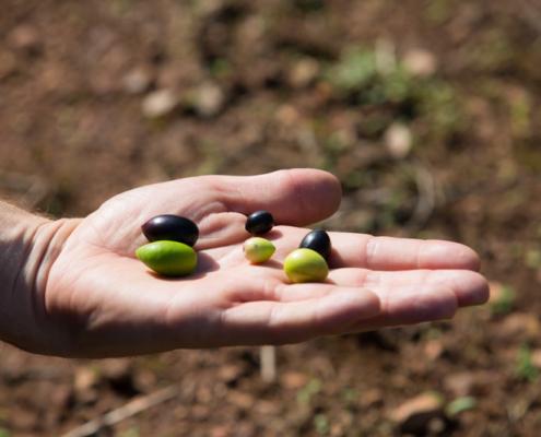 Die Früchte der Ernte in unterschiedlichen Reifezuständen.