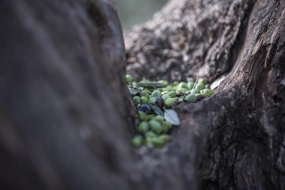 Grüne Oliven bei der Ernte