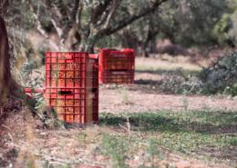 Die Oliven werden sofort nach der Ernte in Kisten zur Presse transportiert.