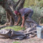 Ein schöner Moment - die gesammelte Ernte eines Baums ist bereit für die Presse.