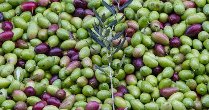 Die Oliven für Aiolos Faires Olivenöl werden frühreif geerntet.